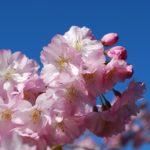 桜の開花予想宣言はいつだ?満開ピークや見頃の期間について2020