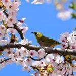金沢の兼六園の桜花見の所要時間はどのくらい?ドライブは時短で穴場をサーッと散策できておすすめです