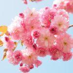 【桜の花びら】折り紙で子供でも簡単な折り方!お洒落なコースターにも!