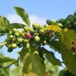 【コーヒーの木】収穫も夢じゃない!?育てて楽しい観葉植物・家庭菜園のプレゼント